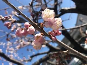 桜令和2年